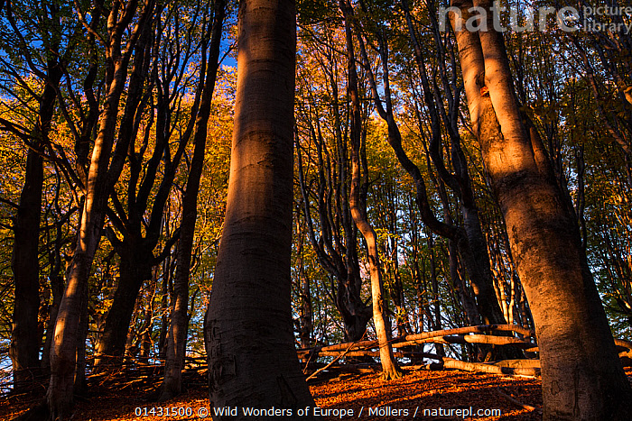 First sunlight in old growth Common beech (Fagus sylvatica) forest. Mehedinti Plateau Geopark, Romania, October 2012  ,  DAWN,EUROPE,FAGACEAE,FLORIAN MOELLERS,FORESTS,PLANTS,REWILDING,ROMANIA,SUNNY,SUNSHINE,TREES,WWE,DICOTYLEDONS,EASTERN EUROPE,HORIZONTAL,LANDSCAPES,TRUNKS  ,  Wild Wonders of Europe / Möllers