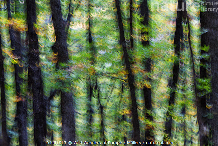 Young Downy oak forest (Quercus pubescens) in hilly terrain outside the village of Mehadia, abstract. Mehadia, Caras Severin, Carpathians, Romania, October 2012, DICOTYLEDONS,EASTERN EUROPE,HORIZONTAL,TRUNKS,ABSTRACT,ARTY SHOTS,BLURRED,EUROPE,FAGACEAE,FLORIAN MOELLERS,PLANTS,REWILDING,ROMANIA,TREES,WWE, Wild Wonders of Europe / Möllers