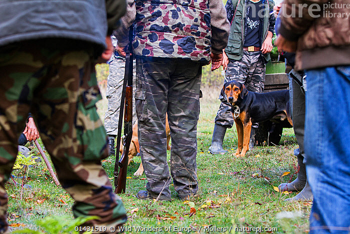 Romanian hunting dog (breed: Copoi ardenelesc / Transylvanian hound) among hunters after a driving hunt for Wild boar (Sus scrofa) in the forest area outside the village of Mehadia, Caras Severin, Romania, October 2012, CAMOUFLAGE,EASTERN EUROPE,GUNS,HORIZONTAL,PEOPLE,PETS,TROUSERS,VERTEBRATES,ARTIODACTYLA,DOGS,EUROPE,FLORIAN MOELLERS,FORESTS,GROUPS,HUNTING,LARGE DOGS,LEGS,MAMMALS,MEN,PIGS,REWILDING,ROMANIA,SCENT HOUNDS,SUIDAE,WORKING,WWE, Wild Wonders of Europe / Möllers