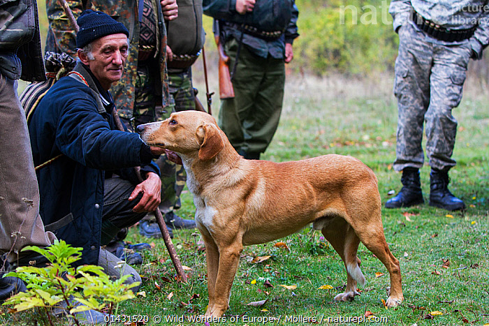Romanian man helping as a driver during a driving hunt for Wild boar (Sus scrofa) and petting hunting dog. Mehadia, Caras Severin, Romania, October 2012, ARTIODACTYLA,DOGS,EUROPE,FLORIAN MOELLERS,GROUPS,HOUNDS,HUNTING,MAMMALS,MAN,MEN,PIGS,REWILDING,ROMANIA,SCENT HOUNDS,SUIDAE,WORKING,WWE,EASTERN EUROPE,HORIZONTAL,PEOPLE,PETS,VERTEBRATES,WORKING DOGS, Wild Wonders of Europe / Möllers