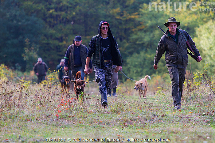 Group of Romanian hunters and their dogs returning from a driving hunt for Wild boar (Sus scrofa) in the forest area outside the village of Mehadia, Caras Severin, Romania, October 2012  ,  EASTERN EUROPE,GUNS,HORIZONTAL,PEOPLE,VERTEBRATES,ARTIODACTYLA,DOGS,EUROPE,FLORIAN MOELLERS,GROUPS,HUNTING,MAMMALS,MAN,MEN,PIGS,REWILDING,ROMANIA,SCENT HOUNDS,SUIDAE,WORKING,WWE  ,  Wild Wonders of Europe / Möllers