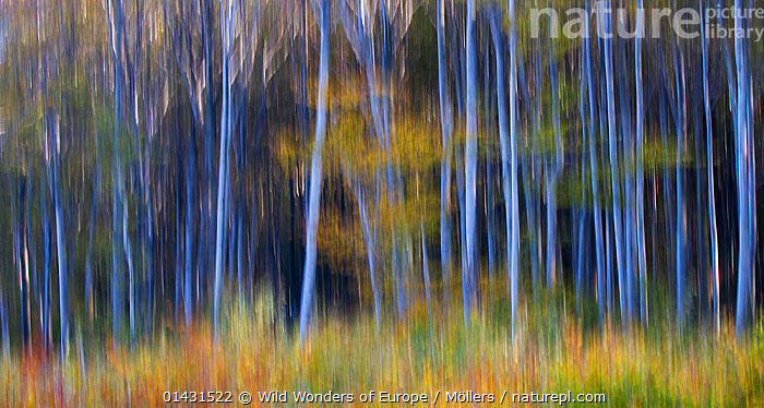 Common beech (Fagus sylvatica) forest in autumn colours, abstract. Southern Carpathians, Baile Herculane, Caras Severin, Romania, October 2012  ,  ABSTRACT,ARTY SHOTS,AUTUMN,BLURRED,BLURRY,EUROPE,FAGACEAE,FLORIAN MOELLERS,PLANTS,REWILDING,ROMANIA,TREES,WWE,DICOTYLEDONS,EASTERN EUROPE,HORIZONTAL,TRUNKS  ,  Wild Wonders of Europe / Möllers