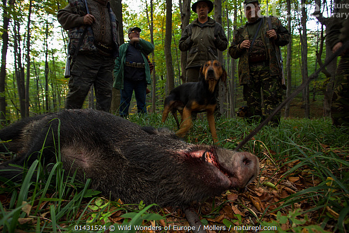 Romanian hunters and shot Wild boar (Sus scrofa) sow in the forest area outside the village of Mehadia, Caras Severin, Romania, October 2012, DECEASED,EASTERN EUROPE,HORIZONTAL,PEOPLE,VERTEBRATES,ARTIODACTYLA,DEATH,DOGS,EUROPE,FLORIAN MOELLERS,FORESTS,GROUPS,HUNTING,MAMMALS,MAN,MEN,PIGS,REWILDING,ROMANIA,SUIDAE,WWE, Wild Wonders of Europe / Möllers