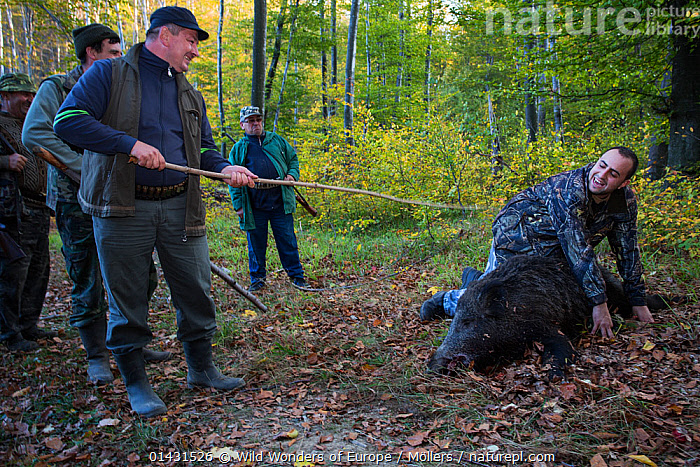 Romanian hunters 'baptizing' young colleague who shot his first Wild boar (Sus scrofa) during a driving hunt in the forest area outside the village of Mehadia, Caras Severin, Romania, October 2012, ARTIODACTYLA,DEATH,EUROPE,FLORIAN MOELLERS,GROUPS,HUNTING,MAMMALS,MAN,MEN,PIGS,REWILDING,ROMANIA,SUIDAE,WWE,DECEASED,EASTERN EUROPE,HORIZONTAL,PEOPLE,VERTEBRATES, Wild Wonders of Europe / Möllers