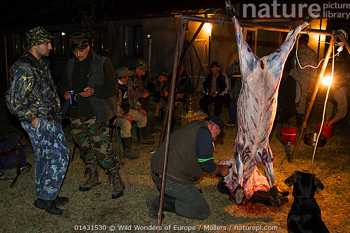 Romanian hunters skinning and preparing the meat of a female Wild boar (Sus scrofa) that was shot during a driving hunt in the forest area outside the village of Mehadia, Caras Severin, Romania, October 2012  ,  BUTCHERING,DECEASED,EASTERN EUROPE,HORIZONTAL,NIGHT,PEOPLE,VERTEBRATES,ARTIODACTYLA,BUTCHERY,DEATH,EUROPE,FLORIAN MOELLERS,MAMMALS,PIGS,REWILDING,ROMANIA,SUIDAE,WWE  ,  Wild Wonders of Europe / Möllers