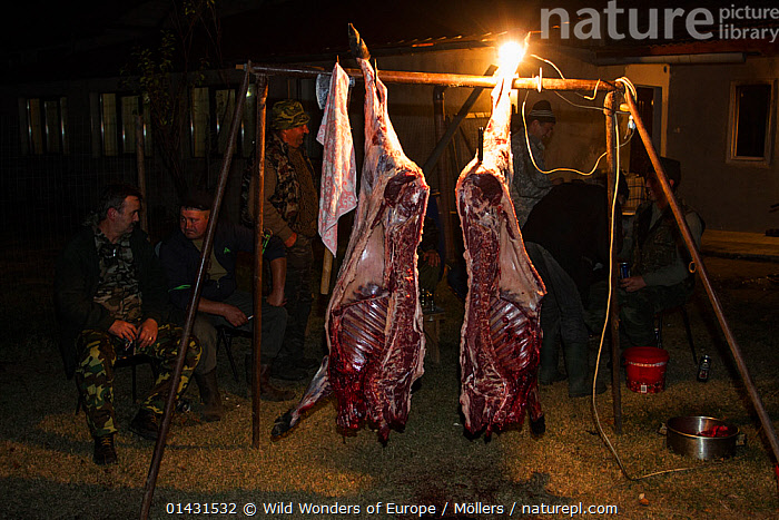 Two halves of freshly skinned and prepared female Wild boar (Sus scrofa) that was shot during a driving hunt in the forest area outside the village of Mehadia, Caras Severin, Romania, October 2012  ,  ARTIODACTYLA,BUTCHERY,DEATH,EUROPE,FLORIAN MOELLERS,MAMMALS,MEN,PIGS,REWILDING,ROMANIA,SUIDAE,WWE,BUTCHERING,DECEASED,EASTERN EUROPE,HORIZONTAL,NIGHT,PEOPLE,VERTEBRATES  ,  Wild Wonders of Europe / Möllers