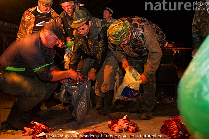 Romanian hunters participating in a lottery to share the freshly prepared meat of a female Wild boar (Sus scrofa) that was shot during a driving hunt. Mehadia, Caras Severin, Romania, October 2012, BUTCHERING,DECEASED,EASTERN EUROPE,HORIZONTAL,NIGHT,PEOPLE,VERTEBRATES,ARTIODACTYLA,BUTCHERY,DEATH,EUROPE,FLORIAN MOELLERS,MAMMALS,MEN,PIGS,REWILDING,ROMANIA,SUIDAE,WWE, Wild Wonders of Europe / Möllers