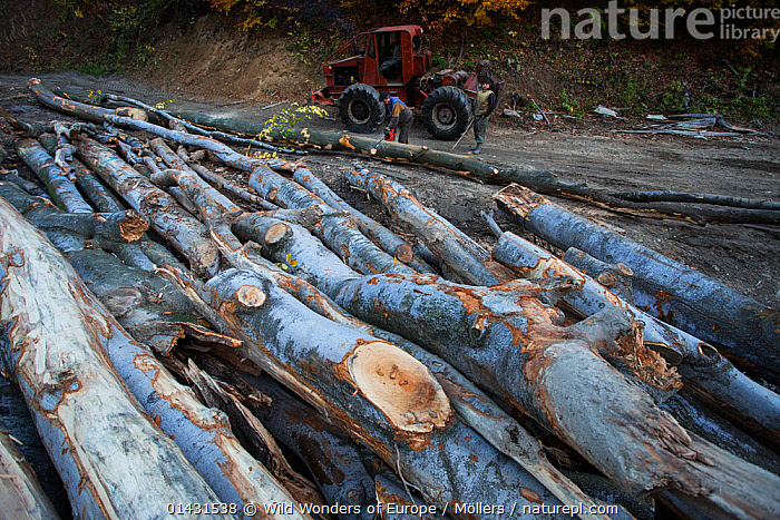 Cut Common beech (Fagus sylvatica) logs and men operating Articulated Forest Tractor (ATF) or measuring the wood. Southern Carpathians, Mehadia, Caras Severin, Romania, October 2012, DEFORESTATION,EUROPE,FAGACEAE,FLORIAN MOELLERS,PLANTS,REWILDING,ROMANIA,WWE,DICOTYLEDONS,EASTERN EUROPE,HORIZONTAL,MACHINERY, Wild Wonders of Europe / Möllers