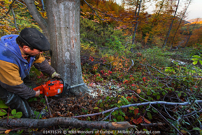 Forest worker with chainsaw cutting large Common beech (Fagus sylvatica) tree at 1.100 m elevation in the Southern Carpathians, Mehadia, Caras Severin, Romania, October 2012, DEFORESTATION,EUROPE,FAGACEAE,FLORIAN MOELLERS,PLANTS,REWILDING,ROMANIA,TREES,WWE,DICOTYLEDONS,EASTERN EUROPE,HORIZONTAL,MACHINERY, Wild Wonders of Europe / Möllers