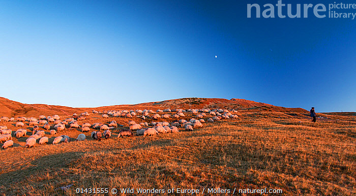 Shepherd leading his Domestic sheep (Ovis aries) to a paddock, at dusk, close to the Meteorological Station of Cuntu. Southern Carpathians, Muntii Tarcu, Caras-Severin, Romania, October 2012, ARTIODACTYLA,BOVIDAE,EUROPE,FLORIAN MOELLERS,GROUPS,HERDS,MAMMALS,MAN,REWILDING,ROMANIA,STARS,WWE,DUSK,EASTERN EUROPE,LANDSCAPES,LIVESTOCK,PEOPLE,SHEEP,SHEPHERDS,VERTEBRATES,Goats,Antelopes, Wild Wonders of Europe / Möllers