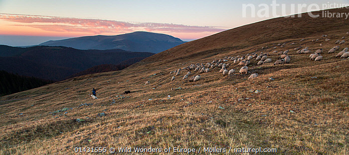 Shepherd leading his Domestic sheep (Ovis aries) to a paddock, at sunset, close to the Meteorological Station of Cuntu. Southern Carpathians, Muntii Tarcu, Caras-Severin, Romania, October 2012  ,  ARTIODACTYLA,BOVIDAE,EUROPE,FLORIAN MOELLERS,GROUPS,HERDS,MAMMALS,REWILDING,ROMANIA,SUNSET,WWE,DUSK,EASTERN EUROPE,LANDSCAPES,LIVESTOCK,MOUNTAINS,PEOPLE,SHEEP,SHEPHERDS,VERTEBRATES,Goats,Antelopes  ,  Wild Wonders of Europe / Möllers