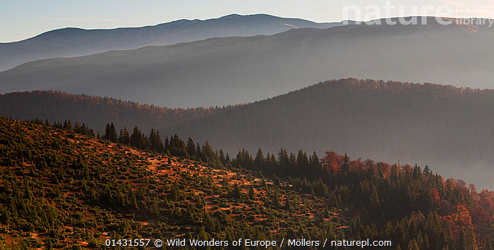 Mixed Common beech (Fagus sylvatica) and Spruce (Picea abies) forests in autum colours at sunrise seen from the road to Muntele Mic. Southern Carpathians, Muntii Tarcu, Caras-Severin, Romania, October 2012, CONIFERS,DICOTYLEDONS,EASTERN EUROPE,LANDSCAPES,MIST,MOUNTAINS,AUTUMN,CONIFEROUS,EUROPE,FAGACEAE,FLORIAN MOELLERS,FORESTS,PLANTS,REWILDING,ROMANIA,TREES,WWE, Wild Wonders of Europe / Möllers