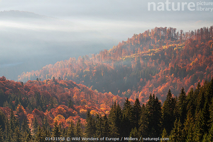 Mixed Common beech (Fagus sylvatica) and Spruce (Picea abies) forests in autum colours at sunrise seen from the road to Muntele Mic. Southern Carpathians, Muntii Tarcu, Caras-Severin, Romania, October 2012  ,  AUTUMN,CONIFEROUS,EUROPE,FAGACEAE,FLORIAN MOELLERS,FORESTS,PLANTS,REWILDING,ROMANIA,TREES,WWE,CONIFERS,DICOTYLEDONS,EASTERN EUROPE,LANDSCAPES,MIST,MOUNTAINS  ,  Wild Wonders of Europe / Möllers