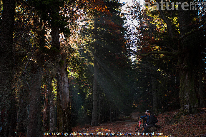Mountain biker and hiker in the mixed old growth Spruce (Picea abies) and Common beech (Fagus sylvatica) forest of the Tarcu Mountains Natura 2000 site. Southern Carpathians, Muntii Tarcu, Caras-Severin, Romania, October 2012, EUROPE,FLORIAN MOELLERS,FORESTS,GYMNOSPERMS,LIGHT,PINES,PLANTS,REWILDING,ROMANIA,SUN RAYS,SUNRAYS,SUNSHINE,TREES,WWE,CONIFERS,CYCLING,EASTERN EUROPE,HIKING,LEISURE,PEOPLE,PINACEAE,TRES,WALKING, Wild Wonders of Europe / Möllers