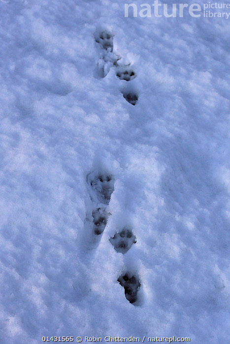 Common Otter (Lutra lutra) footprints ins snow, Strumpshaw Fen RSPB, Norfolk, UK, January, CARNIVORES,ENGLAND,FOOTPRINTS,SNOW,UK,VERTEBRATES,WINTER,EUROPE,MAMMALS,MUSTELIDAE,OTTERS,TRACKS,United Kingdom,Mustelids, Robin Chittenden