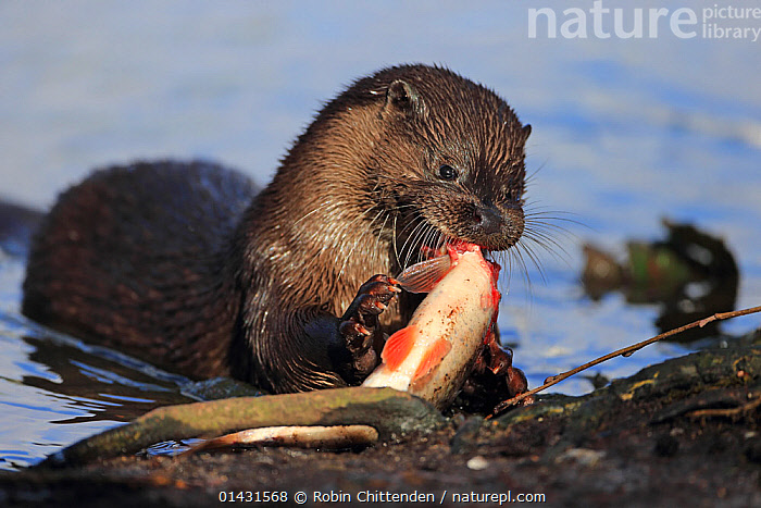 Common Otter (Lutra lutra) feeding on fish, Thetford, Norfolk, UK, March, EUROPE,FISH,MAMMALS,MUSTELIDAE,OTTERS,CARNIVORES,ENGLAND,FEEDING,PREDATION,UK,VERTEBRATES,Behaviour,United Kingdom,Mustelids, Robin Chittenden