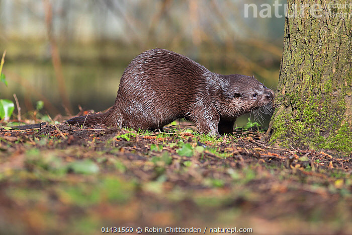Common Otter (Lutra lutra) smelling tree trunk, Thetford, Norfolk, UK, March, EUROPE,MAMMALS,MUSTELIDAE,OTTERS,BEHAVIOUR,CARNIVORES,CURIOSITY,ENGLAND,INQUISITIVE,SMELLING,UK,VERTEBRATES,United Kingdom,Mustelids, Robin Chittenden