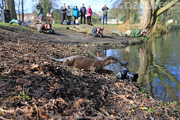 Common Otter (Lutra lutra) investigating remote camera with photographers watching nearby,Thetford, Norfolk, UK, March, CARNIVORES,CURIOSITY,ENGLAND,INQUISITIVE,PEOPLE,RIVERS,UK,VERTEBRATES,EUROPE,MAMMALS,MUSTELIDAE,OTTERS,PHOTOGRAPHY,United Kingdom,Mustelids, Robin Chittenden
