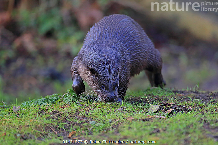 Common Otter (Lutra lutra) walking on river bank, smelling the ground, Thetford, Norfolk, UK, March  ,  EUROPE,MAMMALS,MUSTELIDAE,OTTERS,CARNIVORES,ENGLAND,SMELLING,UK,VERTEBRATES,United Kingdom,Mustelids  ,  Robin Chittenden
