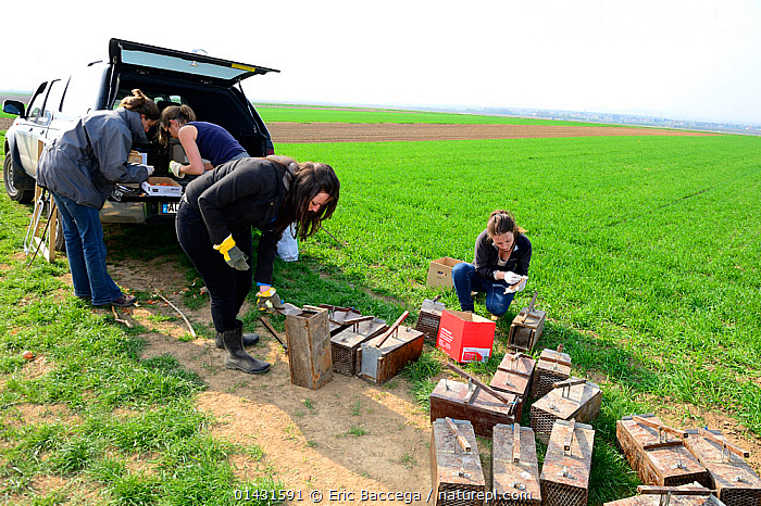 Scientists from the French Wildlife Department (ONCFS) placing traps to capture common hamsters (Cricetus cricetus) in a wheat field, Alsace, France, April 2013  ,  CONSERVATION,CRICETIDAE,CROPLAND,CROPS,EUROPE,FARMLAND,FIELDS,FRANCE,HAMSTERS,MAMMALS,PEOPLE,RESEARCH,RODENTS,SCIENCE,VERTEBRATES,WHEAT  ,  Eric Baccega