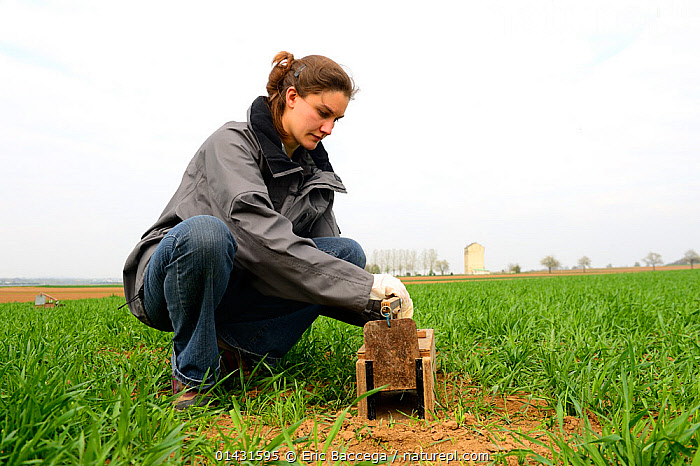 Scientists from the French Wildlife Department (ONCFS) placing traps to capture common hamsters (Cricetus cricetus) in a wheat field, Alsace, France, April 2013  ,  CONSERVATION,CRICETIDAE,CROPLAND,CROPS,EUROPE,FARMLAND,FIELDS,FRANCE,HAMSTERS,MAMMALS,PEOPLE,RESEARCH,RODENTS,SCIENCE,VERTEBRATES,WHEAT,WOMAN  ,  Eric Baccega