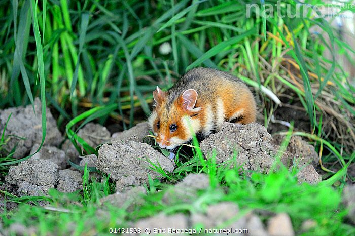 Common hamster (Cricetus cricetus) foraging in a field,  Alsace, France, April, captive  ,  CRICETIDAE,EUROPE,FORAGING,FRANCE,HAMSTERS,MAMMALS,RODENTS,VERTEBRATES  ,  Eric Baccega