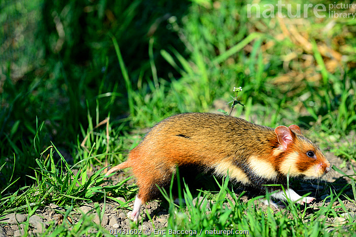 Common hamster (Cricetus cricetus) foraging in a field,  Alsace, France, April, captive  ,  CRICETIDAE,EUROPE,FORAGING,FRANCE,HAMSTERS,MAMMALS,PROFILE,RODENTS,VERTEBRATES  ,  Eric Baccega