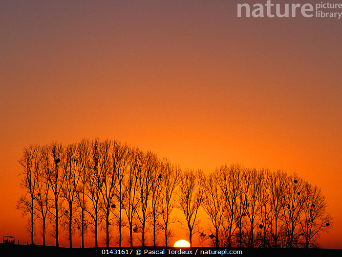 A row of Poplar trees (Populus sp) with Mistletoe (Viscum sp) silhouetted  in winter at sunset, Picardy, France, January  ,  DICOTYLEDONS,EUROPE,FRANCE,LANDSCAPES,LINED UP ,PICARDIE,PLANTS,SALICACEAE,SUNSET,TREES  ,  Pascal Tordeux