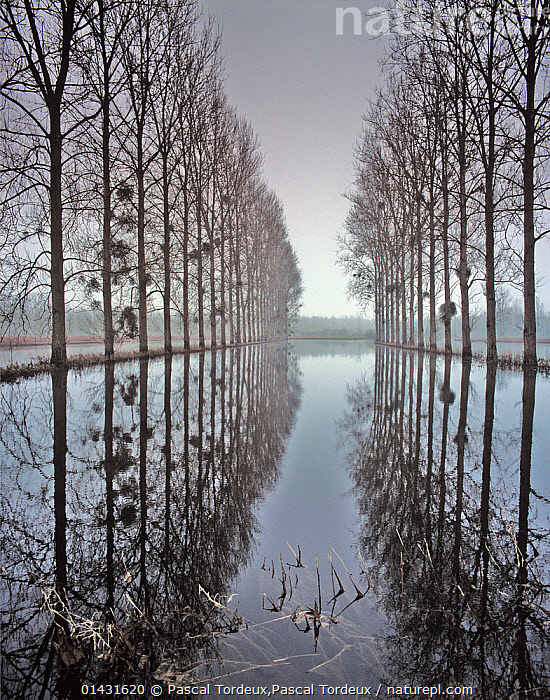Two  rows of poplar (Populus sp.) trees relected in in flood water, during the  floods of the River Oise, Picardy, France, january 2008  ,  ATMOSPHERIC,DICOTYLEDONS,flooded,flooding,LANDSCAPES,LINED UP,MIST,picardie,PLANTS,REFLECTIONS,rows,SALICACEAE,TREES,WATER,WEATHER,WINTER,catalogue6,POPULUS GENUS,Plant,Vascular plant,Flowering plant,Rosid,Cottonwood tree,Plantae,Plant,Tracheophyta,Vascular plant,Magnoliopsida,Flowering plant,Angiosperm,Seed plant,Spermatophyte,Spermatophytina,Angiospermae,Malpighiales,Rosid,Dicot,Dicotyledon,Rosanae,Salicaceae,Populus,Cottonwood tree,Cottonwood,Direction,The Way Forward,Way Forward,Silence,Quiet,Symmetry,No One,Nobody,Months,January,Europe,Western Europe,France,Picardy,Diminishing Perspective,Tree,Bare Tree,Bare Trees,Road,Treelined,Line Of Trees,Roadside Tree,Roadside Trees,Tree Lined,Tree Lined Road,Tree Lined Roads,Treelined Road,Treelined Roads,Reflection,Flood,Canals,Waterway,Waterways,Outdoors,Open Air,Outside,Winter,Day,Nature,Natural,Natural World,Beauty In Nature,Freshwater,Picardie,Winter Wonderland,River Oise,Tree,Trees,,Divine,  ,  Pascal Tordeux,Pascal  Tordeux