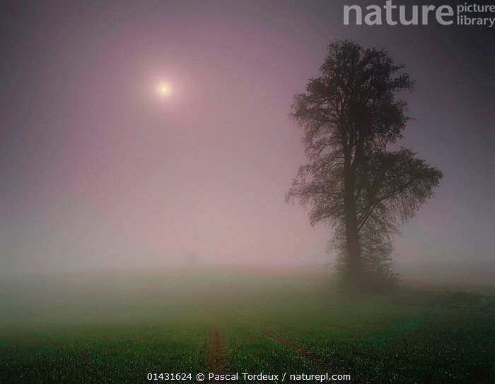 Elm tree (Ulmus sp) silhouetted in fog at night, Villers Le Sec, Picardy, France  ,  ATMOSPHERIC,BAD WEATHER,DICOTYLEDONS,DRAMATIC,EUROPE,FOG,FRANCE,NIGHT,PLANTS,SILHOUETTES,TREES,ULMACEAE,WEATHER  ,  Pascal Tordeux