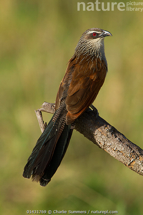 White-browed Coucal (Centropus superciliosus) perched on a dead snag.  Arusha National Park, Tanzania  ,  AFRICA,BIRDS,CUCKOOS,EAST AFRICA,NP,PORTRAITS,RESERVE,TANZANIA,VERTEBRATES,VERTICAL,National Park  ,  Charlie Summers
