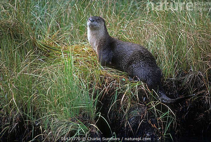 Northern River Otter (Lontra canadensis) resting on the banks of Gibbon River, Yellowstone National Park, Wyoming.  ,  CARNIVORES,MAMMALS,MUSTELIDAE,NORTH AMERICA,OTTERS,RIVERS,USA,VERTEBRATES,Mustelids  ,  Charlie Summers