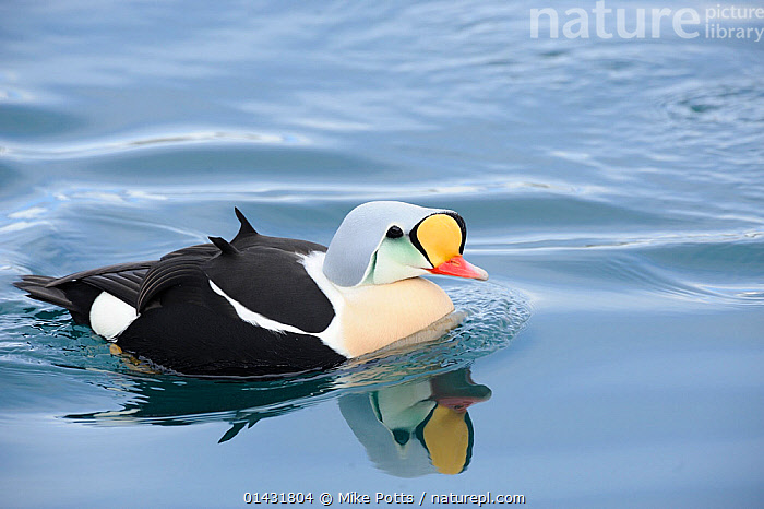 King Eider (Somateria spectabilis) male swimming,