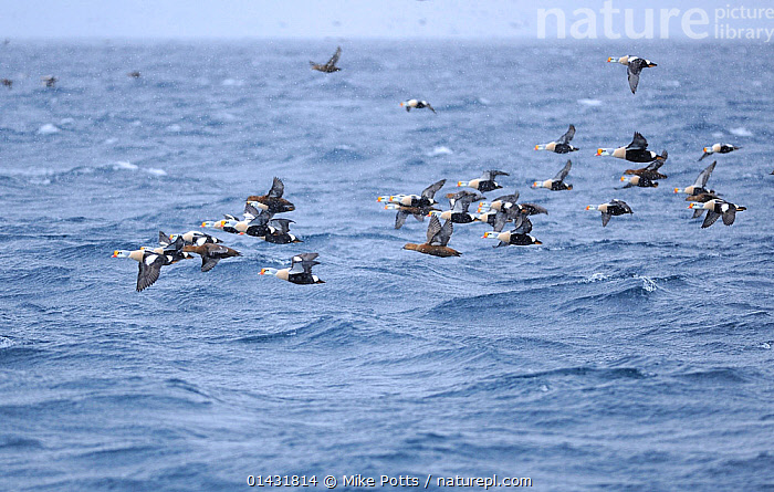 King Eider (Somateria spectabilis) in flight over the sea, in a snow shower, Barents Sea Nr Vardo, North Norway, March  ,  FLOCKS,NORWAY,BIRDS,DUCKS,SEABIRDS,Vertebrates,eider-ducks,eiders,COASTAL WATERS,EUROPE,FLYING,GROUPS,SNOWING,Scandinavia,Wildfowl,Waterfowl  ,  Mike Potts