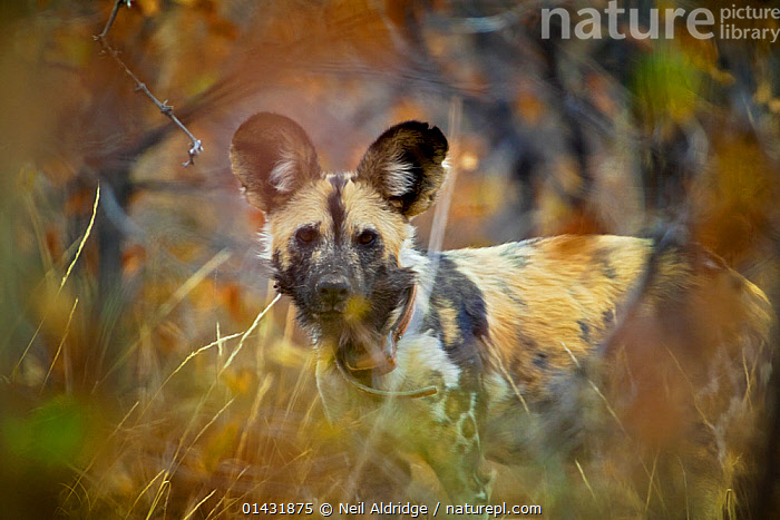 Portrait of an African wild dog (Lycaon pictus)  wearing a radio collar in dense mopane bushveld, Venetia Limpopo Nature Reserve, Limpopo Province, South Africa, February 2010., catalogue6,Animal,Vertebrate,Mammal,Carnivore,Canid,Dog,African Wild Dog,Animalia,Animal,Wildlife,Vertebrate,Chordate,Mammalia,Mammal,Carnivora,Carnivore,Canidae,Canid,Lycaon,Dog,Lycaon pictus,African Wild Dog,Cape Hunting Dog,Painted Hunting Dog,Alertness,Alert,Threat,Menace,Menaces,Menacing,Threatening,Threats,Colour,Black,No One,Nobody,Pattern,Patterned,Patterns,Africa,Southern Africa,South Africa,Close Up,Portrait,Camera Focus,Selective Focus,Focus On Background,Focus On Backgrounds,Ear,Animal Ears,Ears,Hair,Fur,Equipment,Communication Equipment,Communication Device,Telecommunication Device,Radio,Radios,Wireless,Wirelesses,Outdoors,Open Air,Outside,Day,Nature,Natural,Natural World,Nature Reserve,Technology,Reserve,Conservation,Direct Gaze,Shallow depth of field,Low depth of field,South African,Animal marking,Ears Pricked,Tracking,Venetia Limpopo Nature Reserve,Limpopo Province,Endangered species,threatened,Endangered, Neil Aldridge