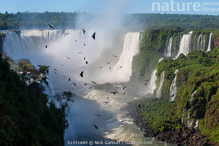 Aggregation / flocks of Black Vultures (Coragyps atratus) circling on morning thermals forming over Iguasu Falls, on the Iguasu River, Brazil / Argentina border. Photographed from the Brazilian side of the Falls. State of Parana, Brazil. September 2012  ,  BIRDS,BORDERS,BRAZIL,FLYING,IGUAZU,VULTURES,WATER,WATERFALLS,FLOCKS,FRESHWATER,HABITAT,LANDSCAPES,RIVERS,SOUTH AMERICA,UNESCO,VERTEBRATES,WORLD HERITAGE SITE  ,  Nick Garbutt