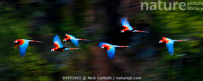 Group of Red-and-Green Macaws or Green-winged Macaws (Ara chloropterus)  in flight over forest canopy. Chapada dos Guimaraes, Brazil.  ,  catalogue6,ARA CHLOROPTERA,Animal,Vertebrate,Birds,Parrot,True parrot,Macaw,Green winged macaw,Animalia,Animal,Wildlife,Vertebrate,Chordate,Aves,Birds,Psittaciformes,Parrot,Psittacines,Psittacidae,True parrot,Psittacoidea,Ara,Macaw,Neotropical parrots,Arini,Arinae,Ara chloroptera,Green winged macaw,Red and green macaw,Ara chloropterus,Flying,Moving After,Following,Follow,Follows,Direction,On The Move,Speed,Colour,Blue,Colourful,Colorful,Group,Medium Group,No One,Nobody,Vibrant Colour,Vibrant Color,Vibrant,Latin America,South America,Brazil,Panoramic,Photographic Effect,Outdoors,Open Air,Outside,Day,Woodland,Forest,Flight,Medium group of animals,Moving,Chapada dos Guimaraes National Park  ,  Nick Garbutt