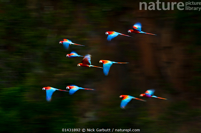 RF- Group of Red-and-Green Macaws or Green-winged Macaws (Ara chloropterus) in flight over forest canopy. Chapada dos Guimaraes, Brazil.  ,  ARTY-SHOTS,BIRDS,blurred motion,Brazil,FLOCKS,FLYING,GROUPS,MACAWS,MOVEMENT,PARROTS,Psittacidae,red and green macaw,SOUTH-AMERICA,tropical-rainforests,VERTEBRATES,ARA CHLOROPTERA,Animal,Vertebrate,Bird,Birds,Parrot,True parrot,Macaw,Green winged macaw,Animalia,Animal,Wildlife,Vertebrate,Aves,Bird,Birds,Psittaciformes,Parrot,Psittacines,Psittacidae,True parrot,Psittacoidea,Ara,Macaw,Neotropical parrots,Arini,Arinae,Ara chloroptera,Green winged macaw,Red and green macaw,Ara chloropterus,Flying,Direction,On The Move,Speed,Togetherness,Unity,Urgency,Group,Medium Group,Nobody,Latin America,South America,Brazil,Outdoors,Nature,Wild,Animals In The Wild,Rainforest,Forest,Medium group of animals,Moving,Purpose,Hurrying,Chapada dos Guimaraes,RF,Royalty free,RFCAT1,RF17Q1,  ,  Nick Garbutt