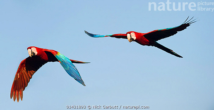 Pair of Red-and-Green Macaws or Green-winged Macaws (Ara chloropterus) in flight. Chapada dos Guimaraes, Brazil.  ,  BIRDS,BRAZIL,CUTOUT,FLYING,MACAWS,TWO,BLUE BACKGROUND,PARROTS,PSITTACIDAE,RED AND GREEN MACAW,SOUTH AMERICA,VERTEBRATES  ,  Nick Garbutt