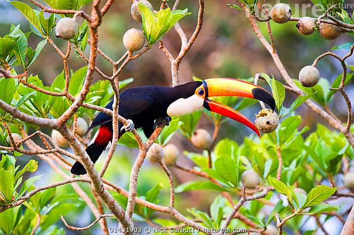 Toco Toucan (Ramphastos toco) feeding on fruit in forest canopy. Banks of the Cuiaba River, northern Pantanal, Mato Grosso, Brazil.  ,  catalogue6,RAMPHASTOS TOCO,Animal,Vertebrate,Birds,Toucan,Toco toucan,Pantanal wetlands,Animalia,Animal,Wildlife,Vertebrate,Chordate,Aves,Birds,Piciformes,Ramphastidae,Toucan,Ramphastos,Ramphastos toco,Toco toucan,Common toucan,Giant toucan,Reaching,Reach,Reaches,Stretching,Balance,Effort,Exertion,Trying,Humorous,Colour,Black,No One,Nobody,Latin America,South America,Brazil,Close Up,Side View,Plant,Beak,Beaks,Outdoors,Open Air,Outside,Day,Woodland,Feeding,Forest,Fruit,Pantanal,Pantanal wetlands,Mato Grosso,Plants,Concepts  ,  Nick Garbutt