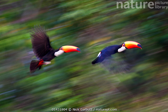 Toco Toucans (Ramphastos toco) taking flight from the forest canopy. Banks of the Cuiaba River, northern Pantanal, Mato Grosso, Brazil.  ,  catalogue6,RAMPHASTOS TOCO,Animal,Vertebrate,Birds,Toucan,Toco toucan,Pantanal wetlands,Animalia,Animal,Wildlife,Vertebrate,Chordate,Aves,Birds,Piciformes,Ramphastidae,Toucan,Ramphastos,Ramphastos toco,Toco toucan,Common toucan,Giant toucan,Flying,Moving After,Following,Follow,Follows,On The Move,Speed,Two,No One,Nobody,Latin America,South America,Brazil,Photographic Effect,Beak,Beaks,Outdoors,Open Air,Outside,Day,Woodland,Forest,Flight,Two animals,Pantanal,Pantanal wetlands,Moving,Cuiaba River  ,  Nick Garbutt