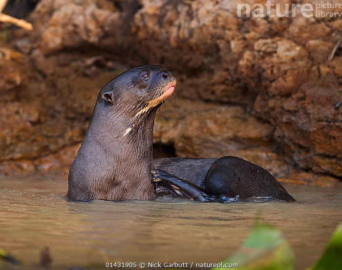 Giant Otter (Pteronura brasiliensis) in shallow river water. Piquiri River, northern Pantanal, Brazil.  ,  BRAZIL,MAMMALS,MUSTELIDAE,OTTERS,CARNIVORES,ENDANGERED,SOUTH AMERICA,VERTEBRATES,Mustelids  ,  Nick Garbutt