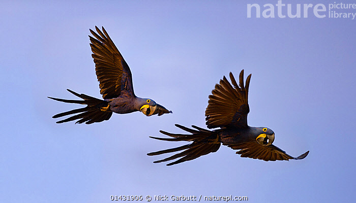 Hyacinth Macaws (Anodorhynchus hyacinthinus) in flight. Taiama Ecological Reserve, Paraguay River, Pantanal, Brazil.  ,  BIRDS,BRAZIL,CUTOUT,FLYING,MACAWS,BLUE BACKGROUND,ENDANGERED,PARROTS,SOUTH AMERICA,VERTEBRATES  ,  Nick Garbutt