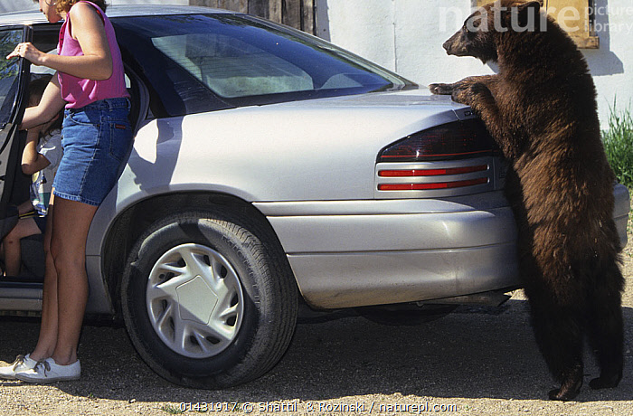 Juvenile American black bear (Ursus americanus), brown phase, standing upright and leaning on a car, Denver, Colorado, USA, July.  ,  Animal,Vertebrate,Mammal,Carnivore,Bear,Black bear,Animalia,Animal,Wildlife,Vertebrate,Chordate,Mammalia,Mammal,Carnivora,Carnivore,Ursidae,Bear,Ursus,Ursus americanus,Black bear,Euarctos americanus,People,Human,Humans,Person,Persons,European Descent,European,Europeans,Caucasian Ethnicity,Caucasian,Caucasian Appearance,Caucasians,White,Females,Women,Danger,Dangerous,Dangers,Hazard,Hazardous,Hazards,Peril,North America,USA,US States,Settlement,Settlements,City,Cities,Mode Of Transport,Vehicle,Vehicles,Land Vehicle,Land Vehicles,Motor Vehicle,Automotive,Car,Automobile,Automobiles,Cars,Outdoors,Open Air,Outdoor,Outside,Animal Behaviour,Interactions,Behaviour,Endangered species,threatened,Vulnerable,,urban  ,  Shattil  & Rozinski