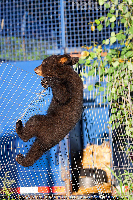 Black bear (Ursus americanus) cub climbing a fence, Minnesota, USA, May.  ,  Aggressive,americanus,animal,arboreal,baby,baribal,bear,BIG,BLACK,captive,city,climb,CLIMBING,crepuscular,cub,DANGEROUS,fauna,fence,ferocious,fierce,frightening,hibernator,hunter,intense,LARGE,life,majestic,mammal,Mammalia,nature,NOCTURNAL,non gregarious,omnivore,Omnivorous,photograph,POWERFUL,predator,resourceful,scary,Scavenger,strong,teddy,teddybear,TERRITORIAL,town,URBAN,Ursa,Ursidae,Ursus,vertebrate,WILDLIFE,wire,YOUNGSTER,catalogue6,Animal,Vertebrate,Mammal,Carnivore,Bear,Black bear,Animalia,Animal,Wildlife,Vertebrate,Chordate,Mammalia,Mammal,Carnivora,Carnivore,Ursidae,Bear,Ursus,Ursus americanus,Black bear,Euarctos americanus,Gesturing,Eyes Closed,Closed Eye,Closed Eyes,Eye Closed,Eye Shut,Eyes Shut,Shut Eyes,Effort,Exertion,Trying,Escape,Escapes,Escaping,Mischief,Colour,Brown,No One,Nobody,North America,USA,Midwest,Minnesota,Full Length,Full Lengths,Whole,Side View,Young Animal,Juvenile,Babies,Baby Mammal,Baby Mammals,Cub,Boundary,Fence,Settlement,City,Outdoors,Open Air,Outside,Day,Climbing,Young,Baby,Endangered species,threatened,Vulnerable,Concepts,,urban  ,  Shattil & Rozinski,Shattil  & Rozinski