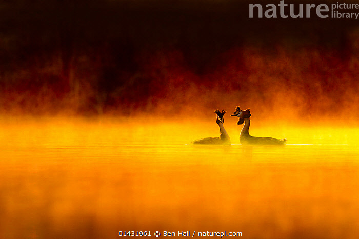 Great crested grebe (Podiceps cristatus) pair performing courtship display at dawn, backlit with surrounding by mist, Cheshire, UK, March, catalogue6,PODICEPS CRISTATUS,Animal,Wildlife,Vertebrate,Bird,Birds,Grebe,Great crested grebe,Animalia,Animal,Wildlife,Vertebrate,Aves,Bird,Birds,Podicipediformes,Podicipedidae,Grebe,Podiceps,Podiceps cristatus,Great crested grebe,Courting,Morning,Mornings,Trust,Trustful,Trusting,Colour,Orange,Yellow,Face To Face,Two,Nobody,Europe,Western Europe,UK,Great Britain,England,Cheshire,Copy Space,Back Lit,Mist,Sunrise,Outdoors,Spring,Day,Freshwater,Lake,Water,Animal Behaviour,Reproduction,Mating Behaviour,Courtship,Display,Behaviour,Displaying,Dawn,Two animals,Negative space,Devotion,Ritual,Behavioural,, Ben  Hall