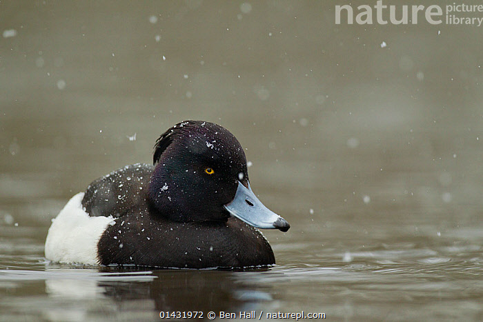 Tufted duck (Aythya fuligula) male swimming on lake in snowfall, Martin Mere WWT Reserve, Lancashire, UK  ,  BIRDS,DUCKS,ENGLAND,EUROPE,FRESHWATER,LAKES,MALES,SNOWING,UK,VERTEBRATES,WATER,WATERFOWL,WEATHER,United Kingdom  ,  Ben Hall