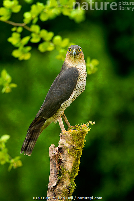 Sparrowhawk (Accipiter nisus nisus) perched on mossy stump in woodland, Cheshire, UK, May  ,  BIRDS,BIRDS OF PREY,ENGLAND,EUROPE,HAWKS,LOOKING AT CAMERA,PORTRAITS,UK,VERTEBRATES,VERTICAL,United Kingdom  ,  Ben Hall