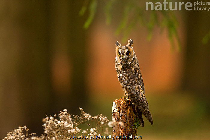 Long-eared owl (Asio otus otus) perched on stump in pine forest, Czech Republic, January  ,  BIRDS,BIRDS OF PREY,COPYSPACE,CZECH REPUBLIC,EASTERN EUROPE,EUROPE,LOOKING AT CAMERA,OWLS,PORTRAITS,STRIGIDAE,VERTEBRATES,Raptor  ,  Ben Hall