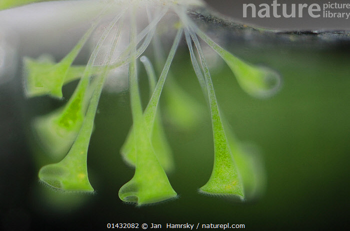 Trumpet animalcules (Stentor polymorphus) with algal symbionts (Chlorella) Europe, controlled conditions  ,  high1314,Ciliates,Trumpet animalcules,Chromalveolata,Growth,Grow,Growing,Grows,Magic,Magical,Colour,Green,Upside Down,Inverted,Upturned,Group,Medium Group,Nobody,Vibrant Colour,Transparent,Europe,Close Up,Nature,Natural,Natural World,Freshwater,Underwater,Water,Ciliophora,Ciliates,Ciliate,Cilliate,Cilliates,Trumpet animalcules,Trumpet animalcule,Green colour,Medium Group of Objects,,Surreal  ,  Jan  Hamrsky